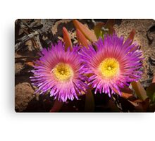 Rainbow colored cactus flowers - looking at you! Canvas Print