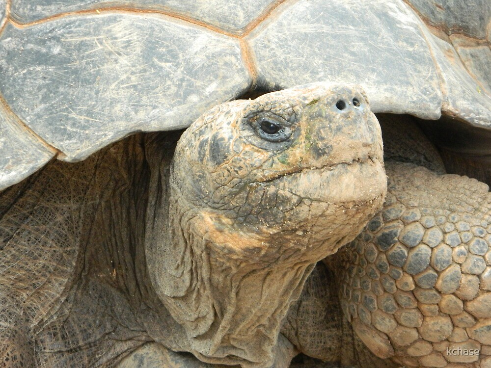 Tortoise by kchase