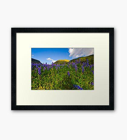 Spring Lupens Framed Print