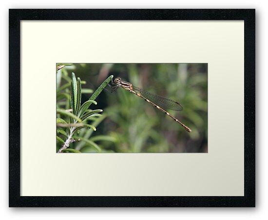 Dragonfly by yolanda