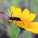 Red-black False Blister Beetle Gathering Pollen by aprilann