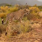 Cheetah, Acinonyx jubatus  by Johanna26
