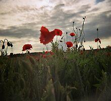 poppy by PAUL FRANCIS