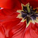 red tulip by Nicole W.