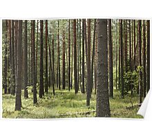 pine forests Poster