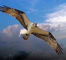 Osprey Flying High in the Sky by imagetj