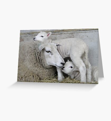 Ovine Twister Greeting Card