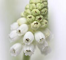 White Grape Hyacinth  by Bob Daalder