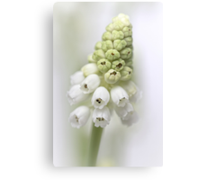 White Grape Hyacinth  Canvas Print