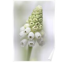 White Grape Hyacinth  Poster