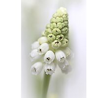 White Grape Hyacinth  Photographic Print