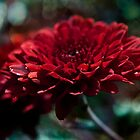 Red Aster by SimplyKlick