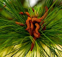Pine Tree Seeds by Lee LaFontaine