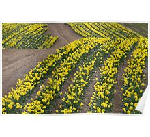 Narcissus in field of Yellow Poster