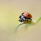 Ladybird by Rachael Talibart