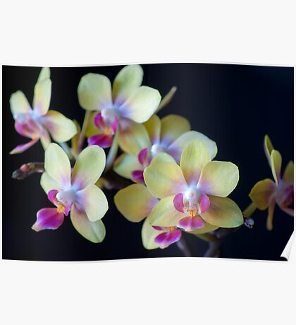 Yellow & Pink Orchids Poster