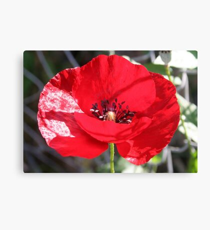 Single Red Poppy Flower  Canvas Print
