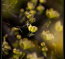 Dogwood spring by Rachael Talibart