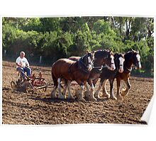 Four Clydesdales working in Sunshine Poster
