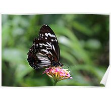 Swamp Tiger Butterfly Poster