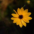 Wild Golden Sunflower by Rosalie Scanlon