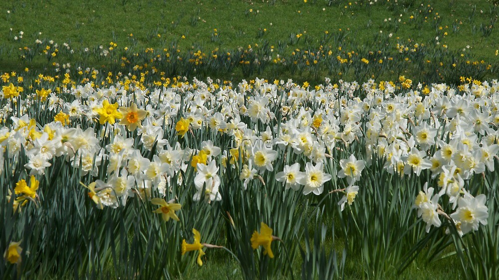White Daffodils by urvid