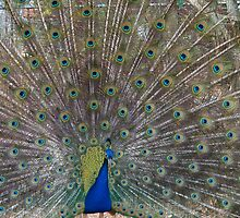 Peacock on Display by urvid