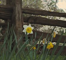 A Daffodil at the Fence by urvid