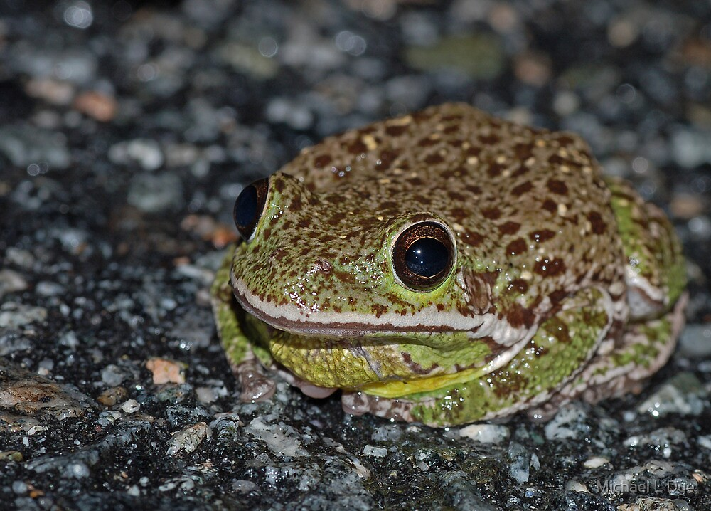 Barking Treefrog  by Michael L Dye