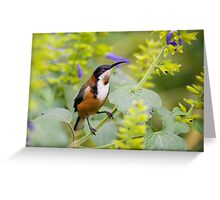 australia birds - eastern spinebill (il) Greeting Card