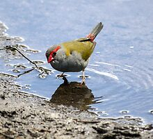 Red-browed Firetail  by Doug Cliff