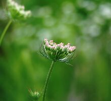 Summer Pink Queen Anne's Lace by Arteffecting