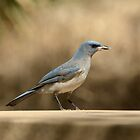 Mexican Jay in Madera Canyon Arizona by Heather Pickard