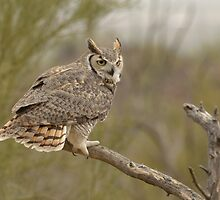 Great Horned Owl by Heather Pickard