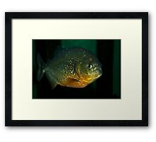 Lone piranha Framed Print