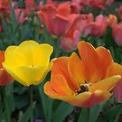 tulips by Michael McCasland