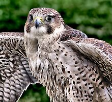 Hawk Eyes ! by Colin J Williams Photography