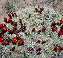 Cactus flower just starting to bloom,Kodachrome State Park,Utah USA by Anthony & Nancy  Leake