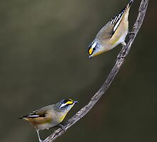 Straited Pardalotes taken Cobar. by Alwyn Simple