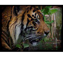 Sumatran Tiger Wildlife Big Cat-Lover Artwork Photographic Print