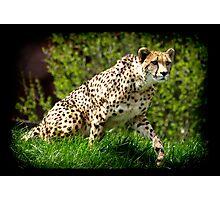 Cheetah Wild Cat Animal-Lover Wildlife Poster Photographic Print