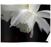 White Daffodil Floral Photo Print Poster