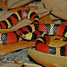 Scarlet Kingsnake by Michael L Dye