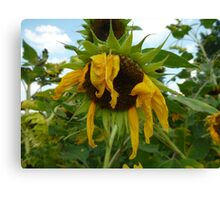 Scraggly Sunflower Canvas Print