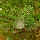 Evergreen Web by Chad Burrall