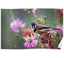 australia birds - eastern spinebill (gc) Poster