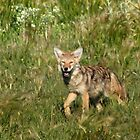 Cutie Coyote by Arla M. Ruggles