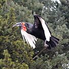 Southern Ground Hornbill by Dorothy Thomson