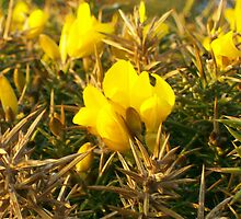 Gorse in Cornwall by LittleAnomaly