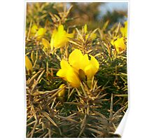 Gorse in Cornwall Poster